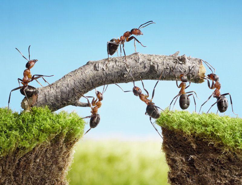 La collaboration est innée chez les fourmis. L'entrepreneur a tout intérêt à acquérir cette aptitude.